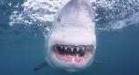 Απίστευτο βίντεο: Τολμηρός ψαράς χαϊδεύει τεράστιο λευκό καρχαρία!